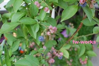 bleu berry.jpg