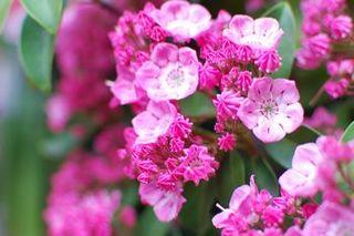 calmia-pink.jpg